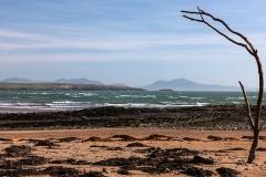 Beach-tree
