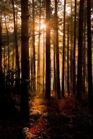 Clumber-Sunburst.jpg