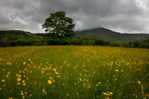 Beddgelert Buttercups