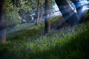 Bluebell Rays