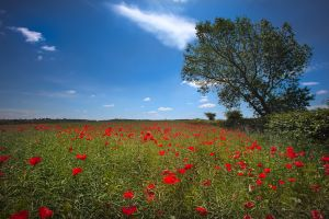 Cawthorne Poppy Field